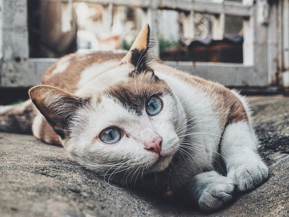 Symptoms Of Heart Failure In Cats