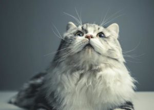 Cat Lifespan