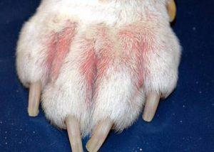 pododermatitis in dogs